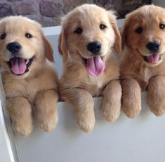 Golden pups...Are we cute or what?? #goldenretrieverpuppy