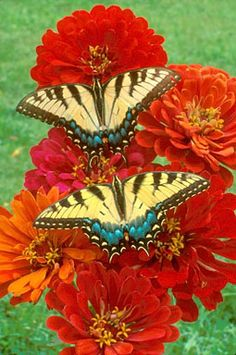 Two tiger swallowtail butterfly on zinnia flowers. - by Bill Beatty Butterfly Kisses, Butterfly Flowers, Beautiful Bugs, Beautiful Butterflies, Beautiful Creatures, Animals Beautiful, Moth Caterpillar, Butterfly Pictures, Flying Insects