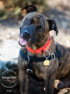 3-year-old Cola, a super sweet and mellow guy, likes long walks in the park, giving kisses, and eating hot dogs in the bath tub (!). He loves everyone, including kids and other dogs. According to Bully Project, which rescued him from a kill shelter, Cola is still learning some manners, but is very treat motivated. Make your life more bubbly with Cola! E-mail BullyPRojectNYC@gmail.com. (Photo by Geoffrey Tischman)