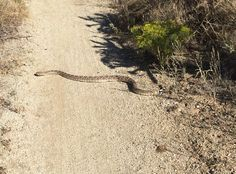 Be aware of encountering rattlesnakes on local hikes. This one was on our favorite trail in the Sandia foothills - the Embudito Trail.