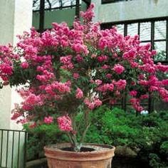 Hopi Pink Crape Myrtle (1-2ft in trade gallon containers) Want to try this next year, lovely.