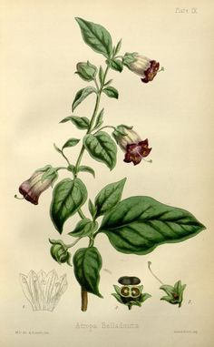 The flora homoeopathica or, illustrations and descriptions of the medicinal plants used as homoeopathic remedies /by Edward Hamilton. (1852) -  Atropa Belladonna (Common Dicale, Deadly NIghtshade)