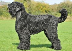 Black Russian Terrier - the breed was created during the Cold War by crossing Giant Schnauzers, Newfoundlands, German shepherds, Rottweilers, and Ovcharkas. Russian Dog Breeds, Russian Dogs, Rottweiler Dog Breed, Corgi Dog Breed, Akc Breeds, Terrier Breeds, Terriers, Most Expensive Dog, Black Russian Terrier