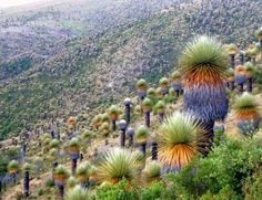 Queen of the Andes, Peru Tropical Flowers, Tropical Plants, Air Plants, Garden Plants, Bolivia, Plant Fungus, Cactus, Nature Animals, Garden Styles