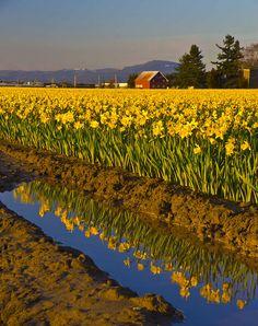 Early Spring Daffodils, Skagit Valley Tulip Festival