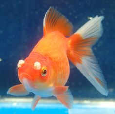 Goldfish - Fantail with Pompoms