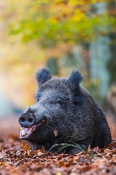 Wildschweinbache liegt gaehnend im Buchenlaub - (Schwarzwild), Sus scrofa, Wild Boar sow rests yawning in beech leaves - (European Boar - Feral Pig) http://riflescopescenter.com/category/nikon-riflescope-reviews/