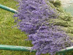 ESPÍGOL – Lavandula angustifolia – Lavanda – Lavande – Lavender