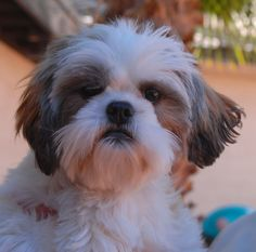 Benjamin loves being held and showers your cheeks with puppy kisses. He is a Shih-Tzu, 6 months of age, a neutered boy, debuting for adoption today at Nevada SPCA (www.nevadaspca.org). Benjamin is already housetrained & crate-trained and he enjoys bonding with other sweet dogs. Please plan and budget for his regular professional grooming needs. Benjamin needed us when his previous owner moved overseas.