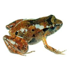 """Species New to Science: """"Abonura strabomantidae"""". - """"Herpetology"""" • 2018] Psychrophrynella glauca • A New Species of Terrestrial-breeding Frogs from the Montane Forests of the Amazonian Andes of Puno, Peru."""