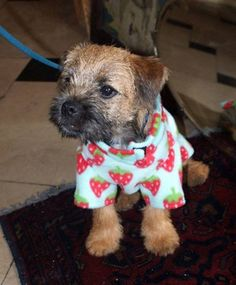 Barney - very naughty but very cute border terrier puppy