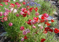 I really would love some poppies in my yard