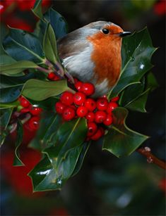 Pretty Birds, Love Birds, Beautiful Birds, Animals Beautiful, Cute Animals, Beautiful Photos Of Nature, Birds And The Bees, Robin Bird, Christmas Bird