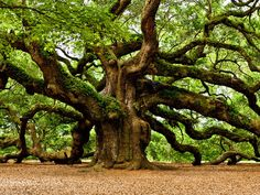 I got: Angel Oak! What Type of Tree Best Describes Your Real Personality?