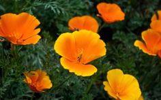 WALLPAPERS HD: Orange Flowers