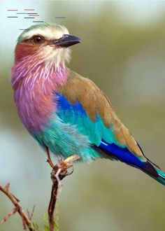 26 of the Most Colorful Birds on the Planet (And Where to Find Them) A gorgeous lilac-breasted roller hanging out on a branch. From 26 of the Most Colorful Birds on the Planet (And Where to Find Them) - By Just Birding! Most Beautiful Birds, Pretty Birds, Beautiful Images, Colorful Animals, Colorful Birds, Birds Of Paradise Mtg, Lilac Breasted Roller, Painted Bunting, Funny Photos Of People