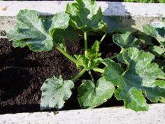 Foto: Die Mini-Zucchini wächst / © Der grüne Mami Blog