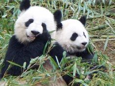 Lun Lun and Xi Lan. #ZAFanFriday photo from Facebook user Gail L.