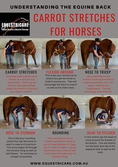 A few variations on the classic carrot stretch! Horse Therapy, Horse Exercises, Horse Riding Tips, Horse Care Tips, Horse Anatomy, Horse Facts, Horse Grooming, Horse Training, Horse Love