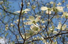 White Dogwood is a beautiful addition to your landscape. This ornamental tree brings color to every season. Red Dogwood, Dogwood Trees, Flowering Trees, Flowers Nature, Spring Flowers, White Flowers, Florida Trees, Arbor Day Foundation, White Springs