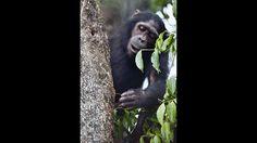 Selbst unsere nächsten Verwandten, die Menschenaffen, unterscheiden sich von uns Menschen in der Motorik. So haben Forscher in Tansania festgestellt, dass die Mehrzahl von Schimpansen linkshändig ist. Ein Team von Biologen beobachtete die Tiere vier Jahre lang beim Termitenangeln. Da die Schimpansen mit ihren Händen keine der Riesenameisen aus ihrem Bau herausklauben können, angeln sie mit Hilfe eines Stocks nach ihnen. Den Stock halten sie dabei in der linken Hand. Die Forscher…