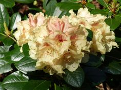 Rhododendron durch Ableger vermehren Flora, Home And Garden, Rose, Inspiration, Chart, Gardening, Scrappy Quilts, Plants, Potting Soil