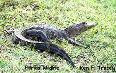 Local Alligator, New Port Richey, Florida