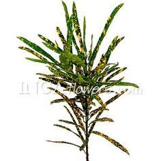 FiftyFlowers.com - Croton Fino Green Filler Flower