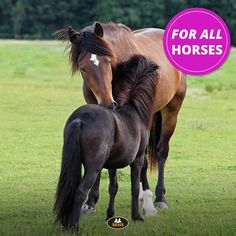 Did you know that MHS Equestrian started as Mini Horse Shop? Specialist in items for miniature horses and shetland ponies! Since 2018 you will find items for large ponies and horses besides items for the smallest ones! And from 2019 ... we started to also expand our own MHS line with large sizes! #MHSEquestrian #MHSRuitersport #miniaturehorses #horses #shetlandpony Shetland Ponies, Horse Shop, Miniature Horses, Horse Supplies, Beautiful Horses, Cousins, Equestrian, Pony, Animals