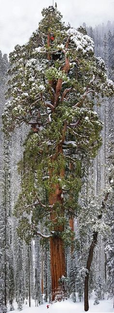 The tallest Sequoia (The President) Two others have wider trunks. (Drank None) has a wider crown.  Notice the man at the bottom.