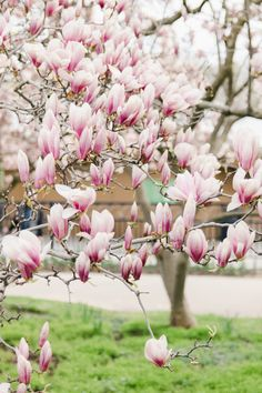 Stunning Magnolia Alley and Cherry Blossoms in Niagara Parks Cherry Blossom Tree, Blossom Trees, Visiting Niagara Falls, Canadian Winter, Two Birds, Spring Is Coming, Mother Nature, Magnolia, Parks