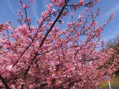 空と雲と河津桜