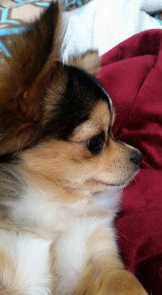 Beautiful #chihuahua Cute Chihuahua, Chihuahua Puppies, Cute Puppies, Cute Dogs, Dogs And Puppies, Chihuahuas, Doggies, Teacup Puppies, Yorkie