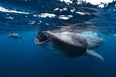 a pinner says: whale shark--this looks like the preface to Pinocchio or Jonah and the Whale. So what happened next?