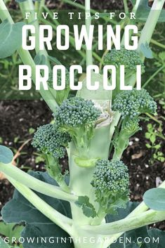 Tips For Growing Broccoli Learn how to grow broccoli with these five tips. Growing broccoli in the garden. Learn how to grow broccoli with these five tips. Growing broccoli in the garden. Vegetable Garden Planner, Vegetable Garden For Beginners, Gardening For Beginners, Growing Broccoli, Growing Vegetables, How To Grow Broccoli, Gardening Vegetables, Broccoli Plant, How To Harvest Broccoli