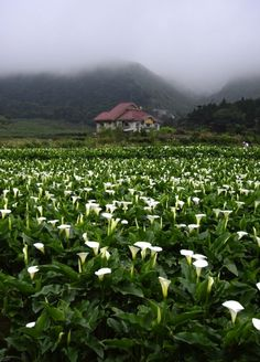 Calla Lily field in Romania Beautiful World, Beautiful Places, Beautiful Pictures, Field Of Dreams, Calla Lily, Calla Lillies, Beautiful Landscapes, Wonders Of The World, Wild Flowers