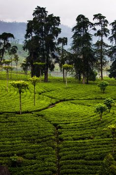 Tea Plantation - Sri Lanka