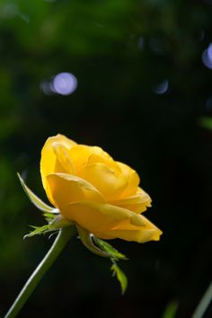 The yellow rose by T Handy on 500px