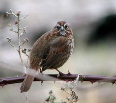 Song Sparrow, 3/15/2013, Lake Sacajawea, Longview, WA