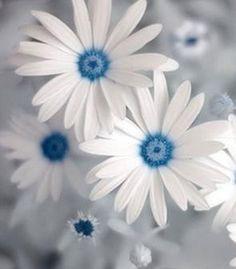 flowersgardenlove:  blue daisy Flowers Garden Love