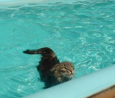 maine coon in water - Google Search