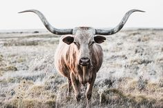 Longhorn cow canvas or photo print. Western home decor cow wall art in neutral farmhouse colors. Large print available in barnwood frames. Longhorn Cow, Longhorn Cattle, Cow Photos, Cow Pictures, Cow Wall Art, Cow Art, Country Backgrounds, Western Photography, Cow Decor