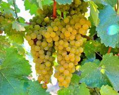Albolonga (Rieslaner x Silvaner) in Mokelumne Glen Vineyards, Lodi AVA. Photography by Randy Caparoso. #Lodi #wine #grapes
