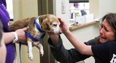 Teneri cuccioli Notizie: Beagle smarrito nel bosco, ritrovato dopo 6 anni g...