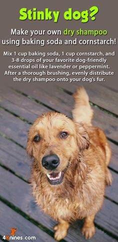 DIY dry dog shampoo: Mix 1 cup baking soda, 1 cup cornstarch, and drops of your favorite dog-friendly essential oil like lavender or peppermint. After a thorough brushing, evenly distribute the dry shampoo onto your dog's fur. Golden Retrievers, Diy Pet, Stinky Dog, Education Canine, Baby Education, Dog Hacks, Homemade Dog, Pet Health, Health Tips