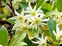 chinese Star Anise Plant | The interesting Illicuim vernum flowers which are related to Magnolias ...