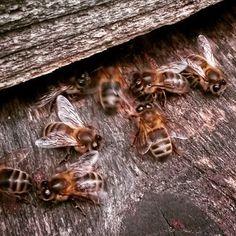 Nos abeilles récoltent leurs dernières provisions pour l'hiver ! Au printemps prochain, elles seront en pleine forme pour préparer le miel des petits déjeuners gourmands de nos Cabaneurs ! #CabanesDesGrandsLacs #CabanesDesGrandsChenes #cabanedanslesarbres #photooftheday #picoftheday #instanature #naturegram #naturelovers #nature #france #honey #beelovers