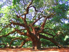 This was described as an 'angel oak' in South Carolina.  I think it's extraordinary.