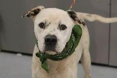 NAME: Judd ANIMAL ID: 30820594 BREED: Pit mix SEX: male EST. AGE: 3 yr Est Weight: 45 lbs Health: Heartworm pos Temperament: dog friendly ,people friendly ADDITIONAL INFO: $200 towards Heartworm treatment RESCUE PULL FEE: Sponsored!   Intake date: 2/12 Available: Now