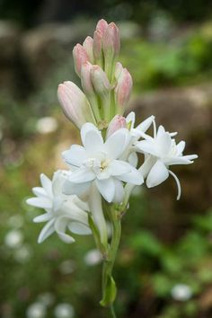 140806_144_Polianthes tuberosa 'The Pearl'.jpg